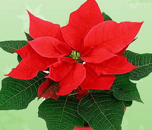 Holiday Plants that are Toxic for Your Pet