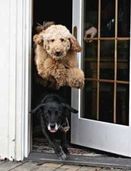 Two dogs with no door manners at all!